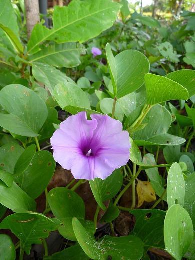 クラビの花34a.JPG
